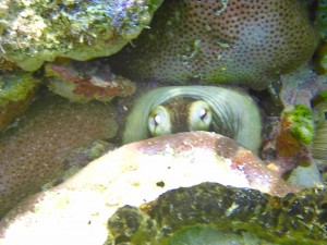 Octopus peeking out from under a rock