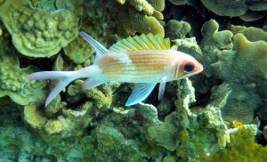 Longjaw Squirlfish - Hollanedes Caves