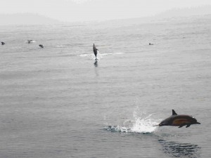 Dolphins in the Catalina Channel